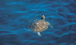 Oman swimming turtle