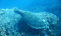 Oman_dive_extra_divers_sifawy_turtle