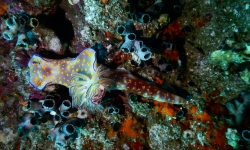 Oman_diving_underwater_nudibranch